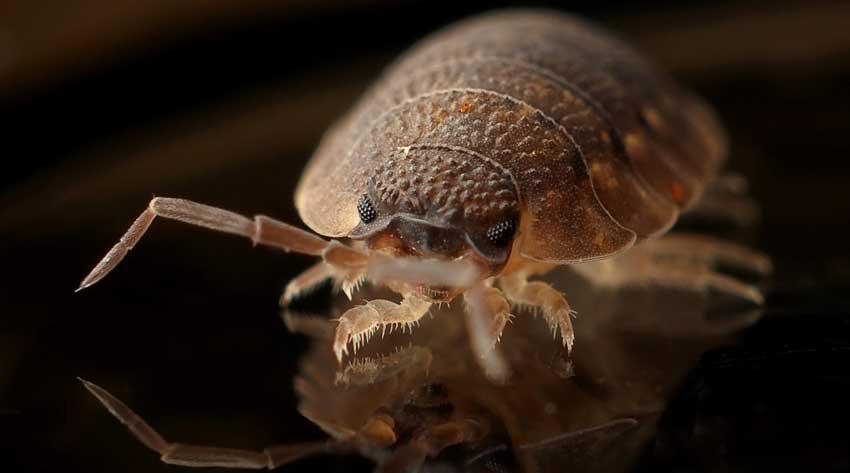 Bedbug close up image
