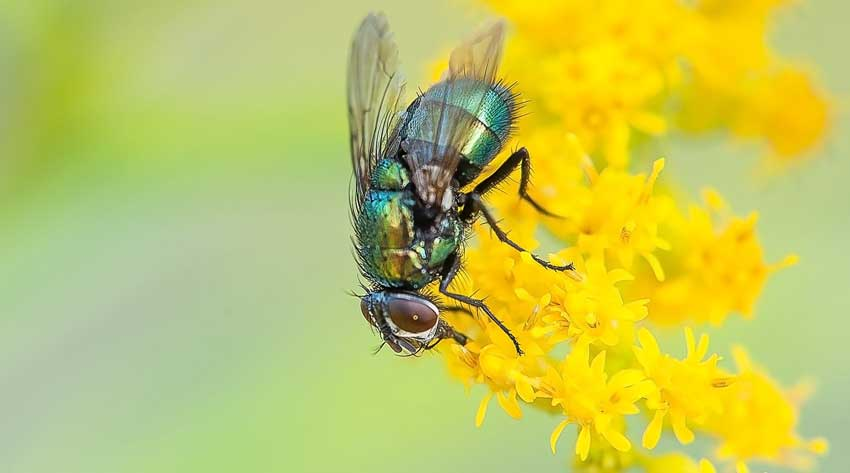 Blow fly on flower