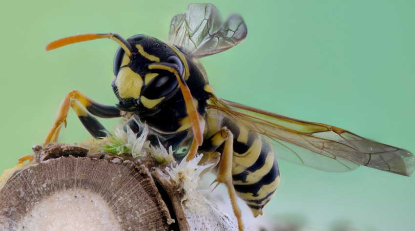 wasp on branch in Tasmania