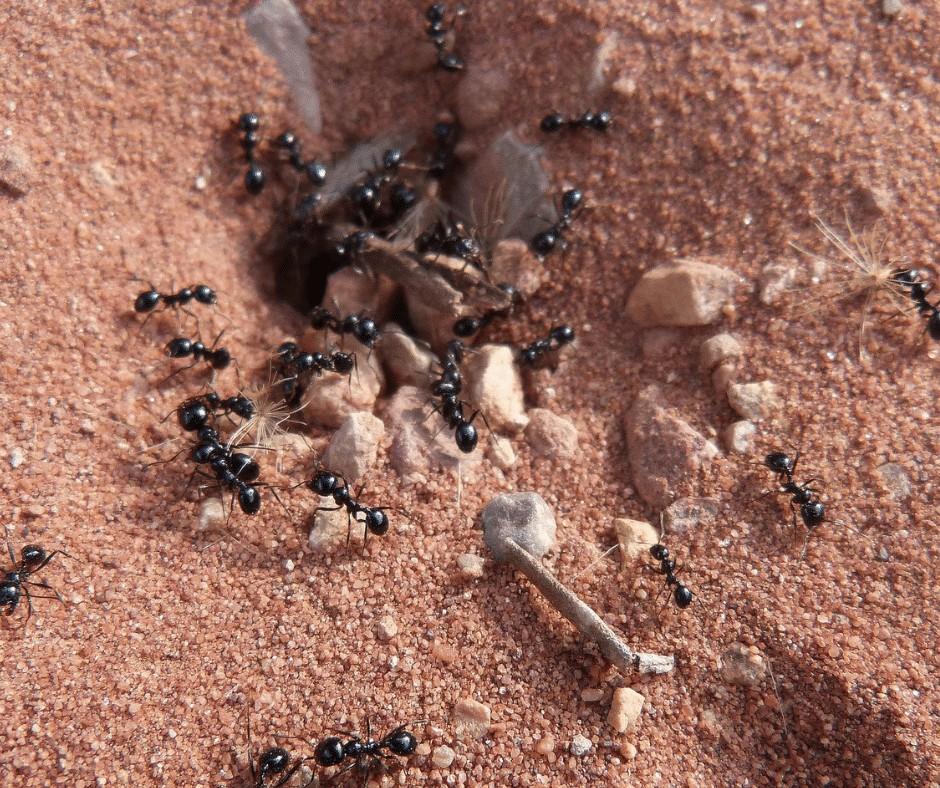 Black ant nests